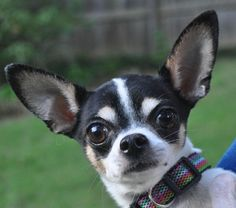 Meet Oreo, an adoptable Chihuahua looking for a forever home. If you're looking for a new pet to adopt or want information on how to get involved with adoptable pets, Petfinder.com is a great resource.