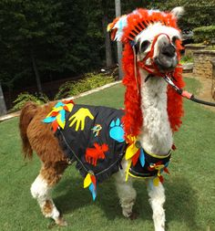 My llama Twist is wearing a costume made by me, Southwick. Funny Animal Pictures, Funny Animals, Cute Animals, Animal Pics, Llama Costume, Funny Llama, Llama Alpaca, Family Halloween Costumes, Animal Costumes