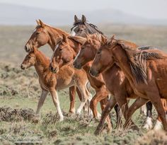 Wild horses mustangs Chevaux sauvages mustangs                                                                                                                                                                                 Plus