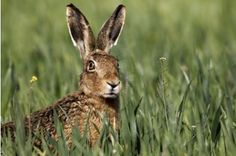 Outrage over mountain hare 'massacre'  Wildlife groups call for stricter regulation of grouse estates carrying out culls of endangered species   Landowners have been condemned for shooting more than 1500 mountain hares this year in the Lammermuir Hills, southeast of Edinburgh.