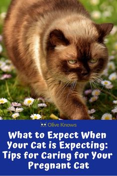 What to Expect When Your Cat is Expecting: Tips for Caring for Your Pregnant Cat. - Kittens (for the boys) - Pregnant Cat, Pregnant Couple, Pregnant Tips, I Love Cats, Cool Cats, Cat Birth, Kitten Formula, Pregnancy Progression, Cat Care Tips