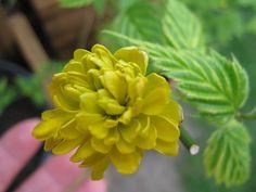 W moim ogrodzie.  Złotlin japoński (Kerria japonica) jest jedynym gatunkiem rodzaju złotlin, należącym do rodziny różowatych. Jego ojczyzną są rejony Chin i Japonii, ale ze względu na piękne, jaskrawo żółte kwiaty jest obecnie uprawiany również w wielu innych krajach świata. Pochodzenie oraz wygląd kwiatów sprawił, że złotliny nazywa się czasami również japońskimi złotymi różami.