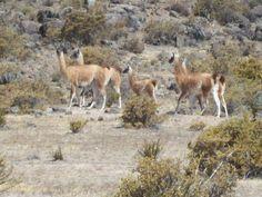 Los guanacos (camélidos peruanos), en Calipuy en Santiago de Chuco, La Libertad
