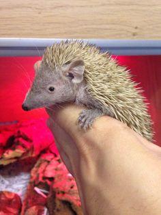 Tenrec Lesser Hedgehog!