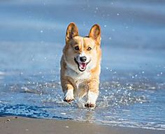 Watch This Totally Tubular Corgi Catch the Perfect Wave