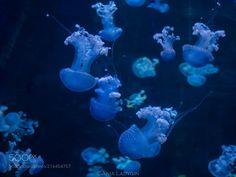 LIFE UNDER THE WAVES, My little jellyfish by annaladygin OLYMPUS DIGITAL...