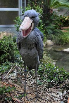 The Shoebill (Balaeniceps rex) or Whalehead or Shoe-billed Stork. It derives its name from its massive shoe-shaped bill. Although it has a somewhat stork-like overall form and has previously been classified in the order Ciconiiformes, its true affiliations with other living birds is ambiguous. Some authorities now reclassify it with the Pelecaniformes. The adult is mainly grey while the juveniles are browner. It lives in tropical east Africa in large swamps from Sudan to Zambia.
