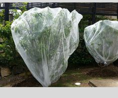 Fruit fly net tied at the base of a small tree ensures the little critters cant access my precious peaches
