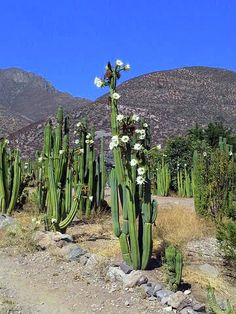 Echinopsis pachanoi / Trichocereus pachanoi / Cactus San Pedro