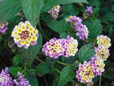 Lantana es un arbusto para jardín con ramilletes formados por diminutas florecillas de diferentes colores que cambian durante el día.