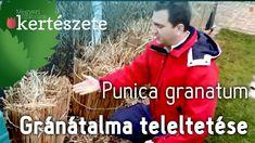 Gránátalma téli takarása - Gránátalma teleltetése - Punica granatum