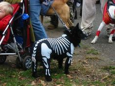 Keep reading for adorable DIY pet costumes! Pugs In Costume, Diy Dog Costumes, Pet Halloween Costumes, Dog Halloween, Halloween House, Chihuahua Terrier, Dog Skeleton, Diy Stuffed Animals, Animals For Kids