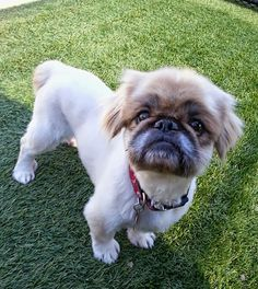 This handsome little 9 year old Pekingese was released to the shelter people who had just had twin humans, and could not afford them and Ramsi. He is a very friendly boy who likes play and be loved on. He does have a Thyroid problem and will need...