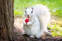 "Snow White - ""A cute female leucistic gray squirrel eating a strawberry in the park Lafontaine, near Mont Royal, in Montréal, Québec..."" ( by Diane Özdamar on 500px)"
