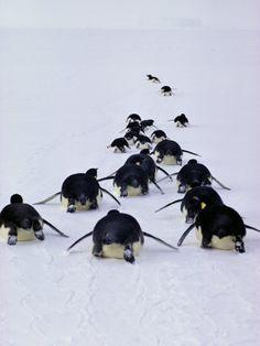 Emperor Penguins, Aptenodytes Forsteri, Tobogan on Their Bellies - Bill Curtsinger