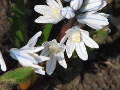 Csillagos Puskin-virág Plants, Plant, Planets
