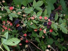 Blackberry plants - edible plants for Leopard Tortoise (leaves)