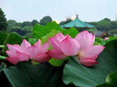 TOKYO JAPAN Lotus Flowers in Tokyo 上野公園・不忍池のハスと灯ろう流し 東京観光 花の名所案内