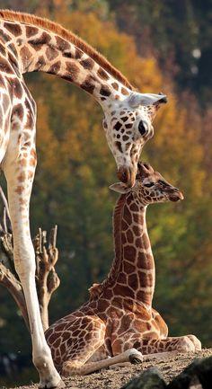 Cute Wild Animals, Safari Animals, Nature Animals, Animals Beautiful, Animals And Pets, Funny Animals, Giraffe Art, Cute Giraffe, Giraffe Drawing