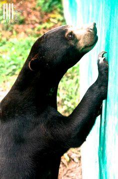 Malayan Sun bear at WFFT
