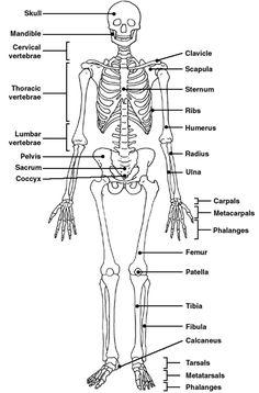 skeleton labeled