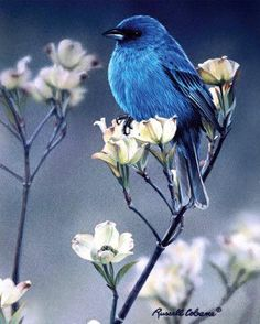 Blue - bird - flowers - Indigo with Dogwood Blossoms by Russell Cobane