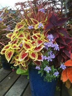 I love this...king coleus, nemesia and a spike. Easy but elegant.