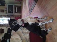 Image result for pointollie Pocket Pitbull, Pitbulls, Animals, Image, Decor, Animales, Decoration, Pit Bulls, Animaux