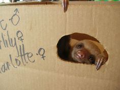 Baby Sloth Box Home by carnegieho Baby Sloth, Cute Sloth, My Spirit Animal, My Animal, Cute Baby Animals, Funny Animals, Lovely Creatures, Cute Little Baby, Animal Quotes