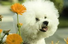 The Bichon Frise (pronounced BEE-shon Free-ZAY) has a happy-go-lucky disposition and is easy to trai... - Julie Sprankles