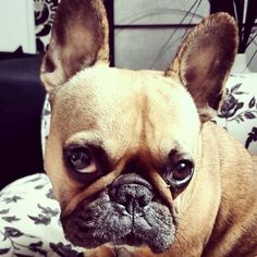 Criquette, She's a Shy French Bulldog.