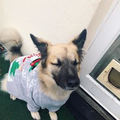 If I close my eyes hard enough maybe this Christmas jumper will go away  #declandog  #christmasjumper #festivefur #fluffypack #rescuedogsrock