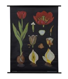 A Tulip Botanical Poster from a series of German Scientific Charts still produced by the original printer. Impressive science decor with vintage classroom style!