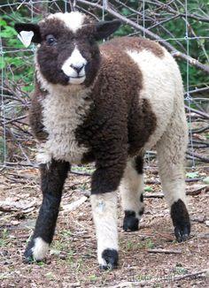 Harlequin ram lamb, Noah