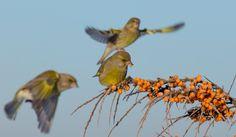 Greenfinch, Europe, Birds, Animals, Animales, Animaux, Bird, Animal, Animais