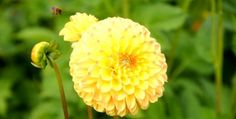 Yellow pompom Dahlia and a great post about my British Chilean family. Read more, it's interesting!