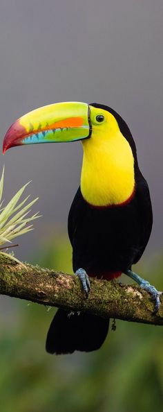 of a keel-billed toucan Picture of a keel-billed toucan.Picture of a keel-billed toucan. Pretty Birds, Beautiful Birds, Animals Beautiful, Cute Animals, Tropical Birds, Exotic Birds, Colorful Birds, Exotic Pets, Bird Pictures