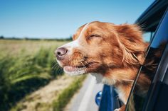 I am considering adopting a Nova Scotia Duck Tolling Retriever, but I don't know if they are noisy. I don't mind a bit of noise as all dogs Funny Dog Names, Funny Dogs, Golden Retrievers, Primates, Animal Cognition, Camper, Nova Scotia Duck Tolling Retriever, Dog Varieties, Pet Travel