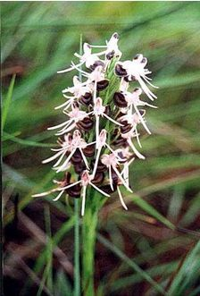 Image result for Habenaria bacata
