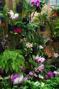 Longwood has over orchids in their greenhouses, and approximately 300 are in the orchid room at any given time. Orchids Garden, Orchid Plants, Exotic Plants, Exotic Flowers, Tropical Plants, Tropical Gardens, Vertikal Garden, Orchid House, Orquideas Cymbidium