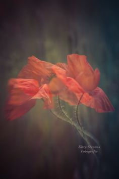 Close Up, Poppies, Dandelion, Beautiful Pictures, Dance, Wallpaper, Sweet, Flowers, Plants