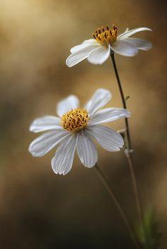 prettylittleflower:  Bidens Cosmos by Mandy Disher on Flickr.