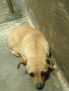 ***6/5/14 STILL LISTED ON PETFINDER!!***URGENT-SHE'S IN ODESSA KILLS***14-00361 Chihuahua • Young • Female • Large City of Odessa Animal Shelter Odessa, TX