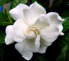 Gardenia | Como Cuidar da Gardênia - Como Cuidar