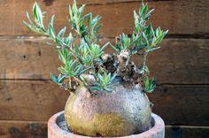 Pachypodium bispinosum パキポディウム・ビスピノーサム