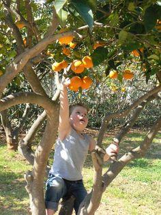 verse sinaasappels uit de tuin