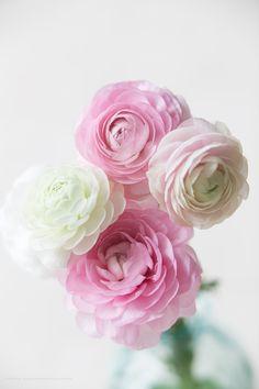 Pale pink, blush and white ranunculus. My Flower, Pretty Flowers, Fresh Flowers, Pink Flowers, Ranunculus Flowers, White Ranunculus, Amazing Flowers, Flower Arrangements, Wedding Flowers
