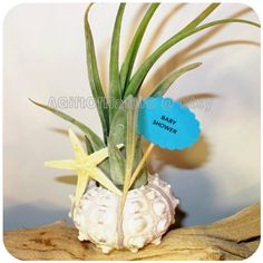Sea Urchin Air Plant Gift  Tillandsia Airplant by AGiftofNature, $12.00
