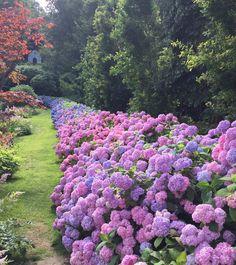 Norrviken gardens in Båstad; Sweden - home town of Wildlife Garden AB. #Hydrangea #hortensia #gardeninspo #garden #flowers #Sweden #Sverige #Schweden