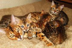 TOP 35 Bengal kittens (17)